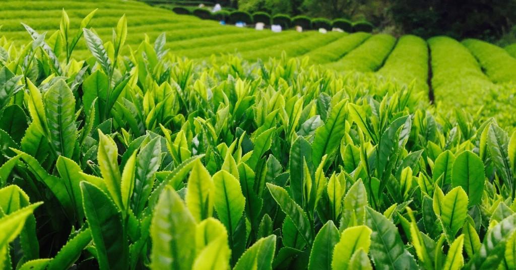 плантация японского чая