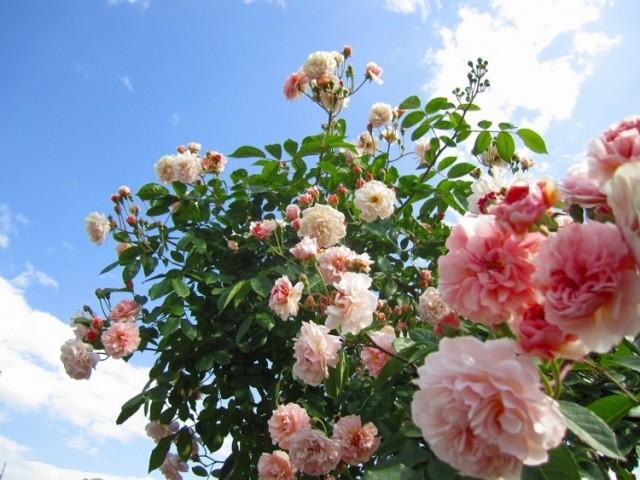 зелёный чай с розами