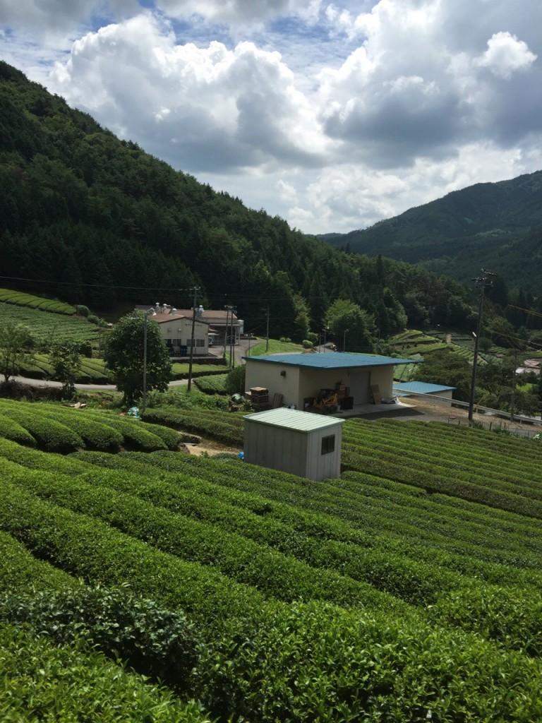 японский зелёный чай сиракавача