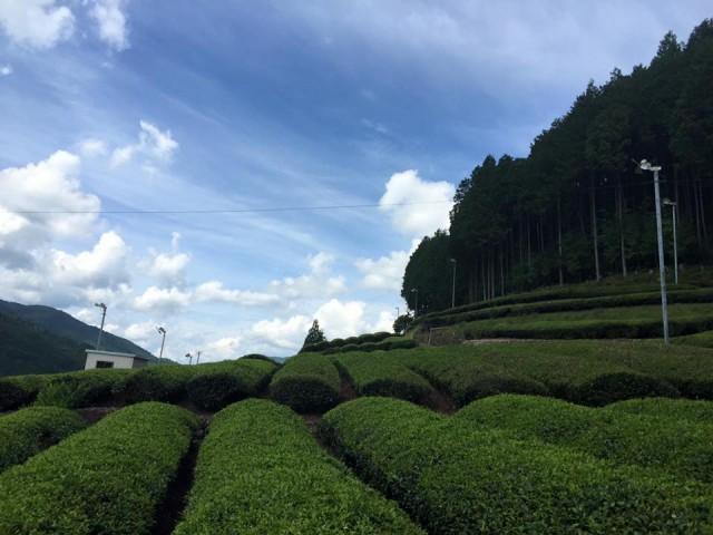 зелёный чай сиракавача