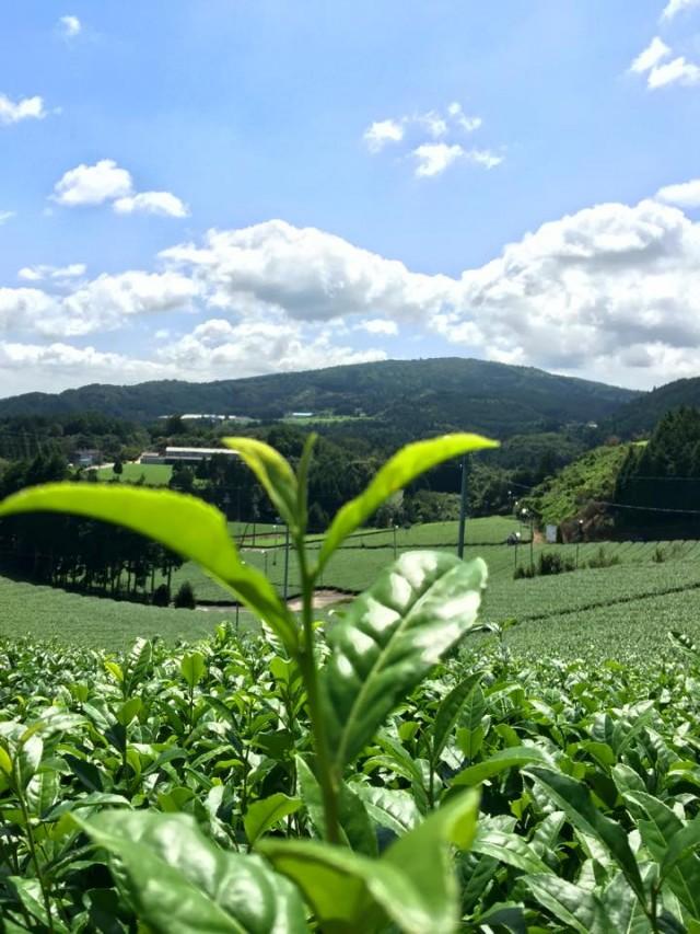 японский чай ямато
