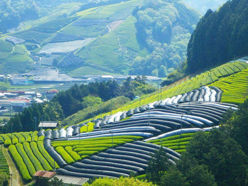 wazuka tea gardens