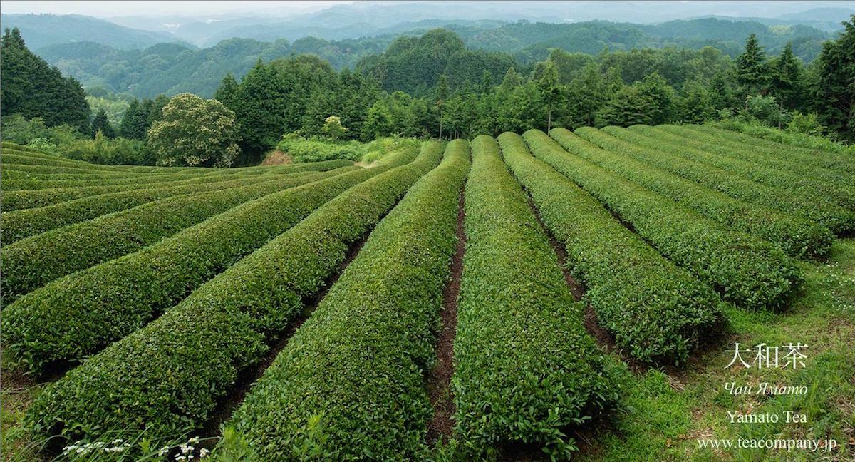 зелёный чай ямато Нара