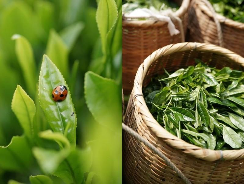 зелёный чай тенрюча