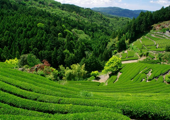 японский чай тэнрюча