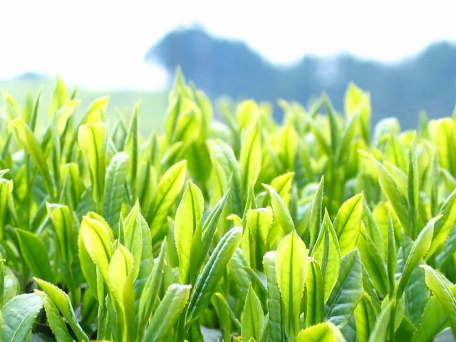 весна урожай зелёного чая